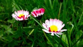 白色和玫瑰色雏菊 库存图片