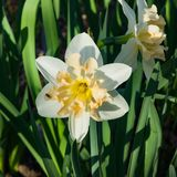 白色和米黄黄水仙或水仙在花圃,选择聚焦,浅DOF开花特写镜头 库存图片