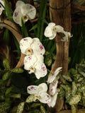 白色和紫色兰花在庭院里 免版税图库摄影