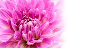 白色和紫色桃红色五颜六色的与强烈的生动的颜色的大丽花花宏观照片在白色宽横幅空的背景中 免版税库存图片