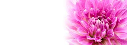 白色和紫色桃红色五颜六色的与强烈的生动的颜色的大丽花花宏观照片在白色宽横幅空的背景全景 库存图片