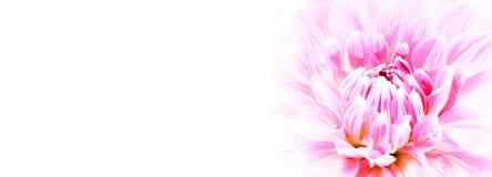 白色和紫色桃红色五颜六色的与强烈的生动的颜色的大丽花花宏观照片在白色宽横幅空的背景全景 库存照片