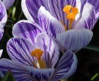 白色和紫色番红花在庭院床上开花 库存图片