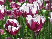 白色和紫色郁金香 图库摄影