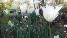 白色和紫色tulipans 免版税库存照片