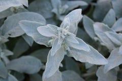 白色和绿色软的羊羔耳朵植物 免版税库存照片