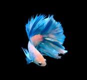 白色和蓝色暹罗战斗的鱼,在bla隔绝的betta鱼 免版税库存图片