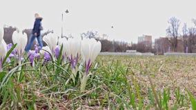 白色和蓝色精美嫩春天番红花花在城市公园,走在背景的被弄脏的人民 股票视频