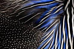 白色和蓝色野鸡羽毛详细的纹理  背景和纹理 库存照片