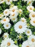 白色和黄色延命菊雏菊花 库存图片