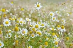白色和黄色春黄菊雏菊在草甸 背景细部图花卉向量 库存照片