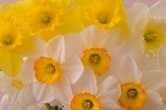 白色和黄色水仙开花特写镜头背景纹理 库存照片