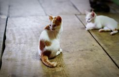 白色和黄色猫在房子的地板上说谎 库存照片