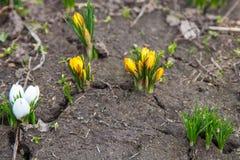 白色和黄色番红花花 免版税图库摄影