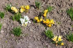 白色和黄色番红花花 库存图片