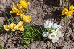 白色和黄色番红花花 免版税库存照片