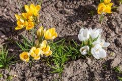 白色和黄色番红花花 免版税库存图片