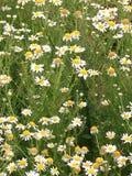 白色和黄色雏菊的领域 图库摄影