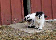 白色和黑农厂小猫 免版税库存图片