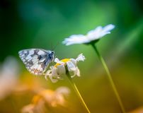 白色和黑昆虫在夏天诱使一朵雏菊花 库存照片