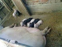 白色和黑甜猪 免版税库存图片