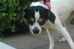 白色和黑短的光滑的头发的女性奇瓦瓦狗态度 图库摄影