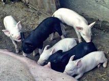 白色和黑逗人喜爱的猪 免版税库存图片
