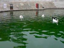 白色和黑鸭在一个人为池塘游泳 免版税库存照片