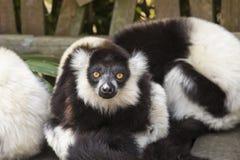 白色和黑狐猴 库存图片