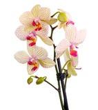 白色和紫罗兰色兰花 免版税库存图片