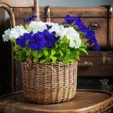 白色和紫罗兰色喇叭花 库存照片