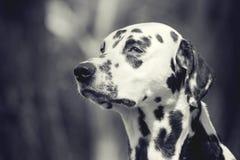 白色和黑色定了调子一只逗人喜爱的狗达尔马提亚狗的画象 库存图片