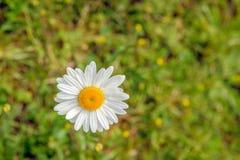 白色和黄色开花的春白菊绽放作为很快从上面 免版税图库摄影