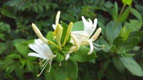 白色和黄色忍冬属植物 库存图片
