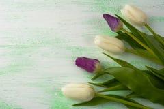 白色和紫色新鲜的郁金香 库存图片