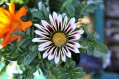 白色和紫色杂色菊属植物花 免版税库存图片