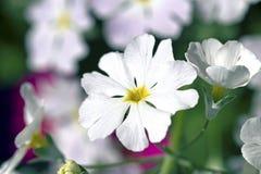 白色和紫色樱草属 免版税库存图片