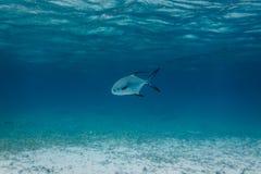 白色和黑色盯梢了许可证鱼, 5参科鱼类falcatus,游泳在加勒比海 免版税库存图片