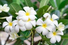 白色和黄色羽毛在树开花 免版税图库摄影