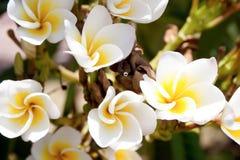 白色和黄色羽毛花 免版税库存照片