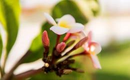白色和黄色羽毛赤素馨花开花与叶子 免版税库存图片