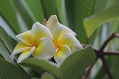 白色和黄色羽毛赤素馨花开花在明亮的阳光的树 免版税库存图片