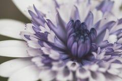 白色和紫色花关闭 免版税库存照片