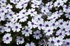 白色和紫色花 免版税库存照片