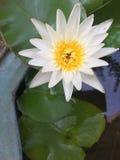 白色和黄色莲花在池塘 库存照片
