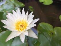 白色和黄色莲花在池塘 库存图片