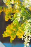 白色和黄色蓬子菜 库存图片