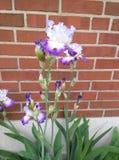 白色和紫色虹膜 免版税库存照片