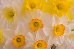 白色和黄色水仙开花特写镜头背景纹理 免版税库存图片