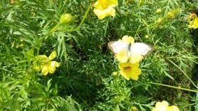 白色和黄色蝴蝶 库存图片